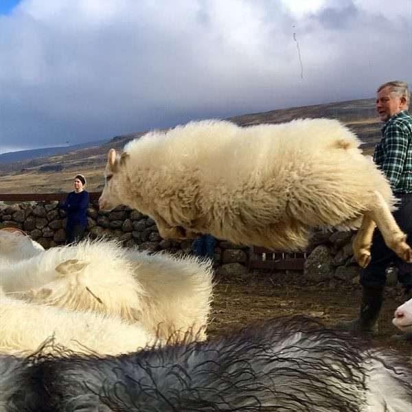 Flying Icelandic sheep during sheep round up