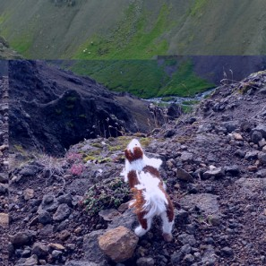 Smali le chien islandais